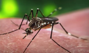 zika fever aedes mosquito